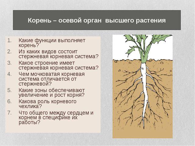 Какие функции выполняет корень? Из каких видов состоит стержневая корневая си...