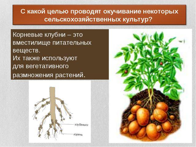 Корневые клубни – это вместилище питательных веществ. Их также используют для...