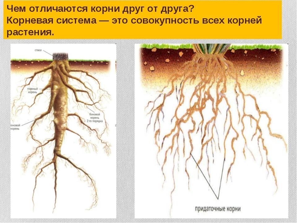 Чем отличаются корни друг от друга? Корневая система — это совокупность всех...