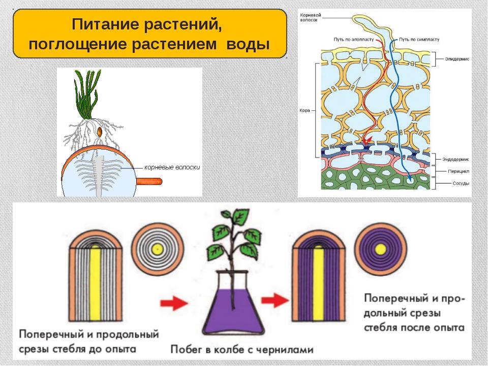 Питание растений, поглощение растением воды