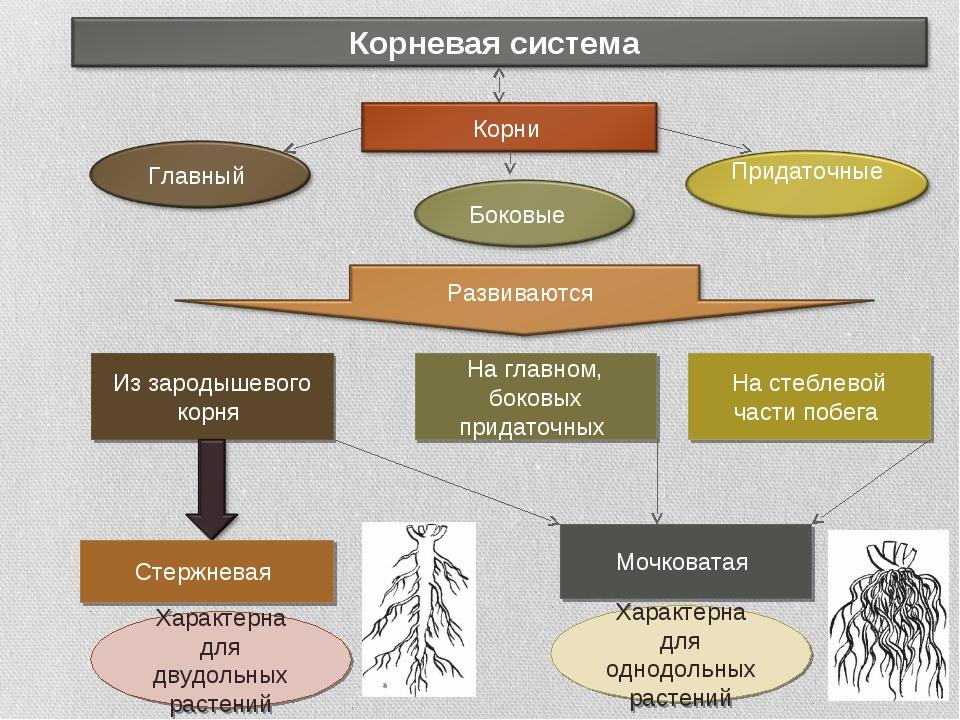 Из зародышевого корня На главном, боковых придаточных На стеблевой части побе...
