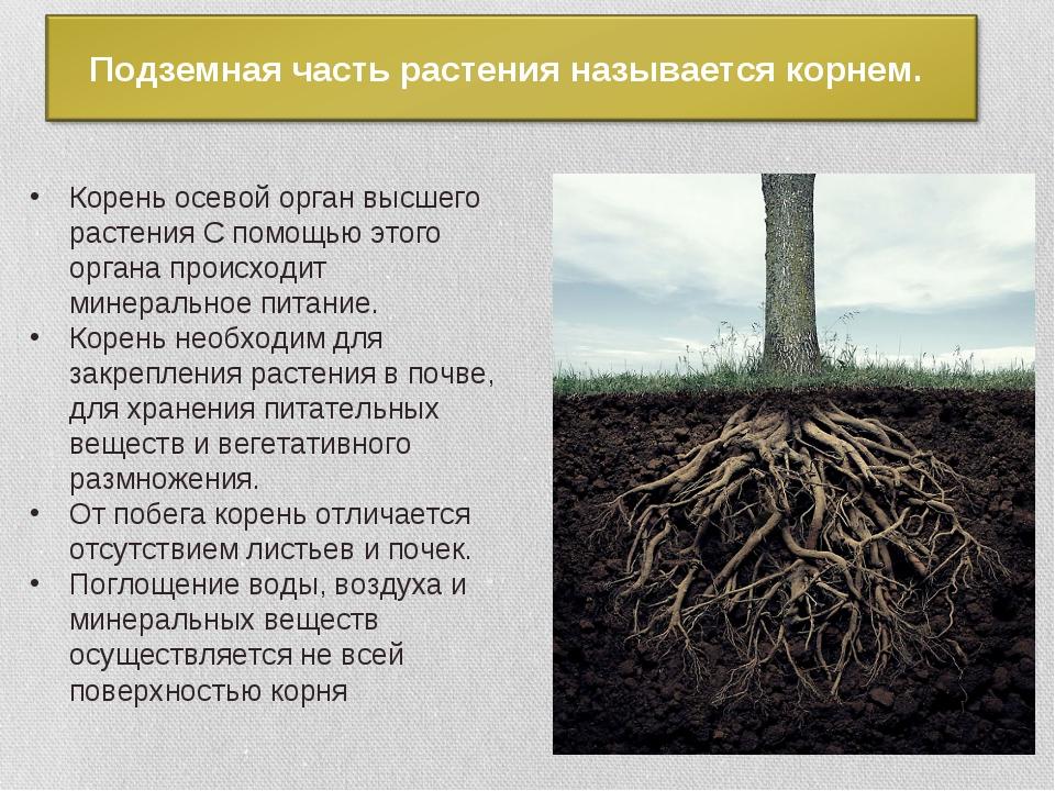 Корень осевой орган высшего растения С помощью этого органа происходит минера...