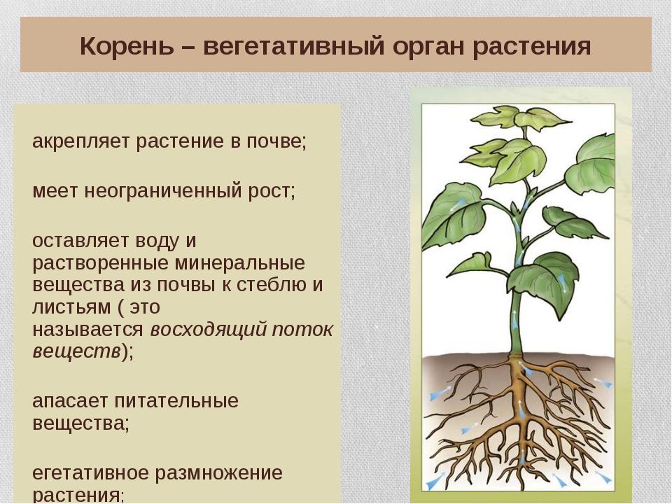 Корень – вегетативный орган растения Закрепляет растение в почве; Имеет неогр...