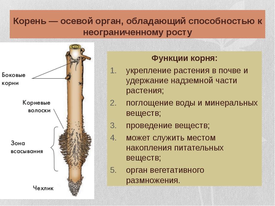 Корень — осевой орган, обладающий способностью к неограниченному росту Функци...