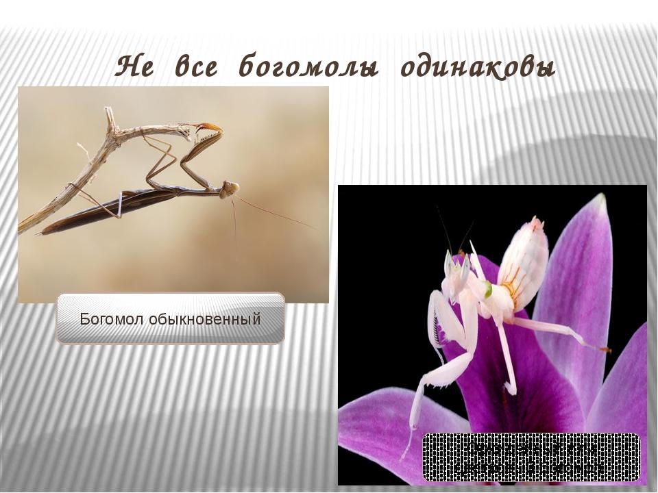 Не все богомолы одинаковы Богомол обыкновенный Орхидейный или цветковый богомол