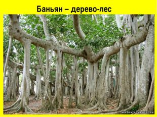 Баньян – дерево-лес