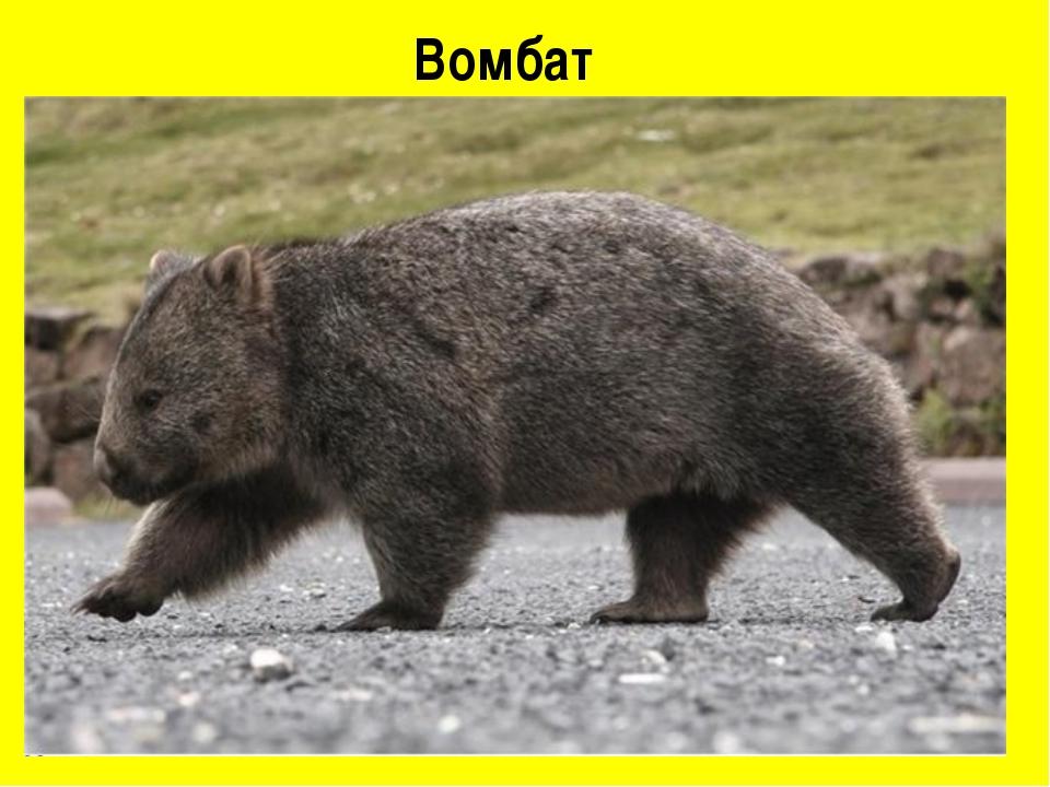 Вомбат