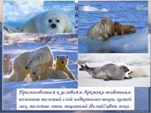 Приспособиться к условиям Арктики животным помогает толстый слой подкожного ж