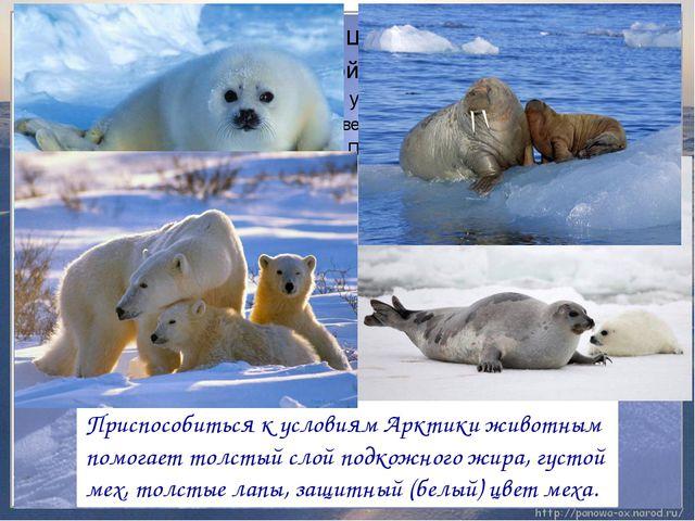 Приспособиться к условиям Арктики животным помогает толстый слой подкожного ж...