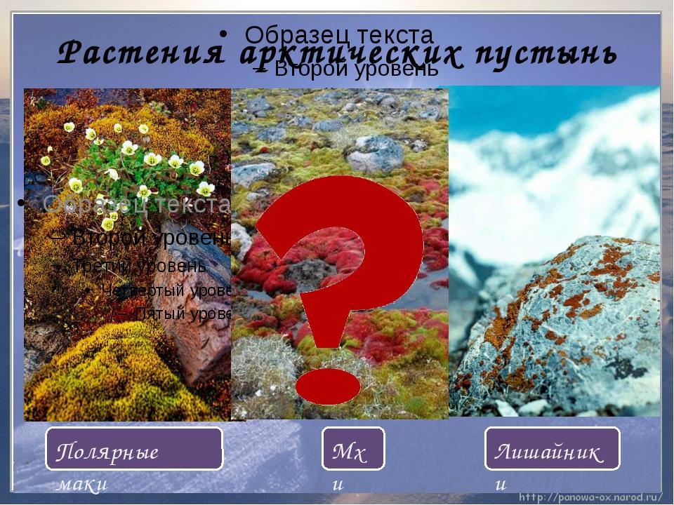 Растения арктических пустынь Мхи Лишайники Полярные маки