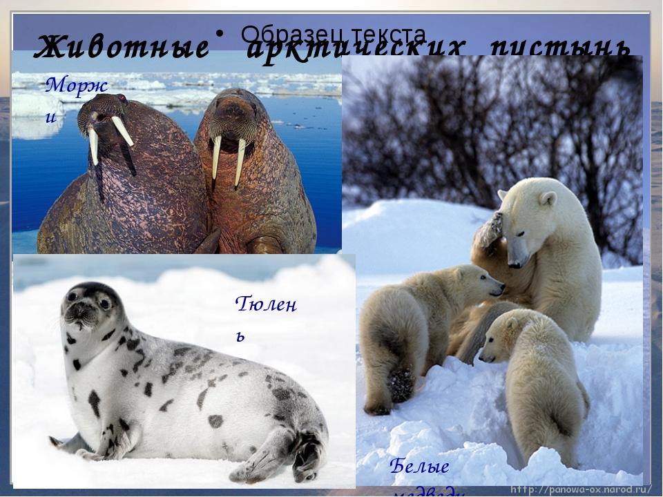 Животные арктических пустынь ʹ Моржи Тюлень Белые медведи
