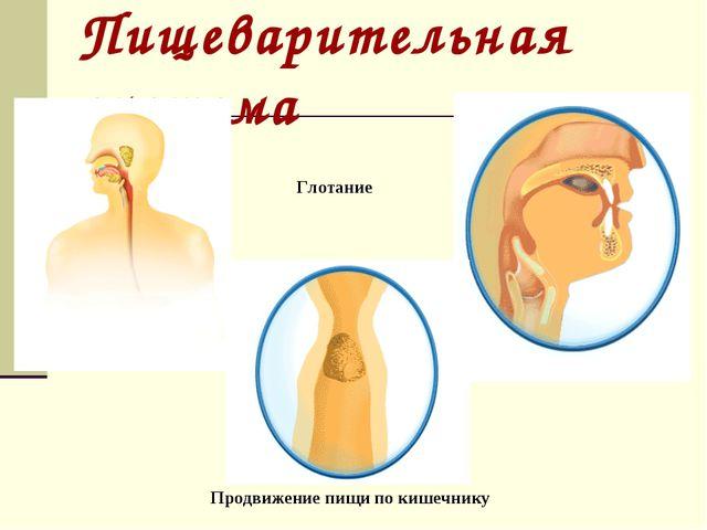 Пищеварительная система Глотание Продвижение пищи по кишечнику