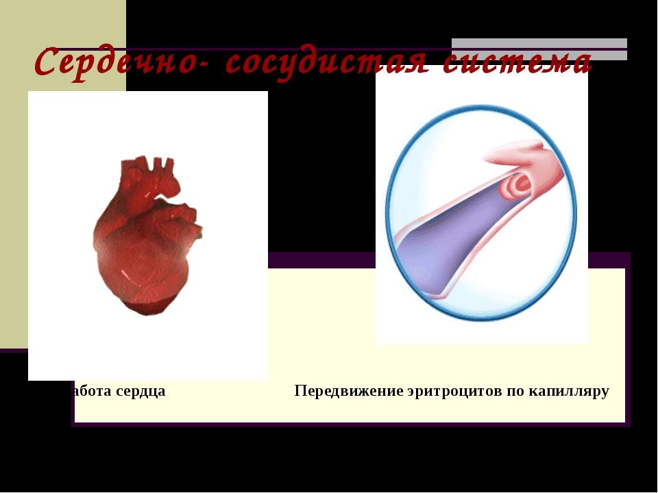 Передвижение эритроцитов по капилляру Сердечно- сосудистая система Работа сер...