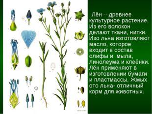 Лён – древнее культурное растение. Из его волокон делают ткани, нитки. Изо л