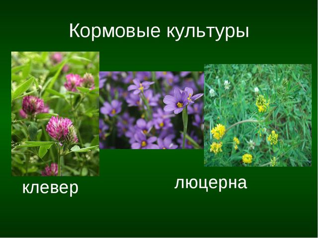 Кормовые культуры клевер люцерна