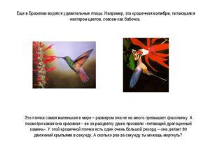 Еще в Бразилии водятся удивительные птицы. Например, эта крошечная колибри, п