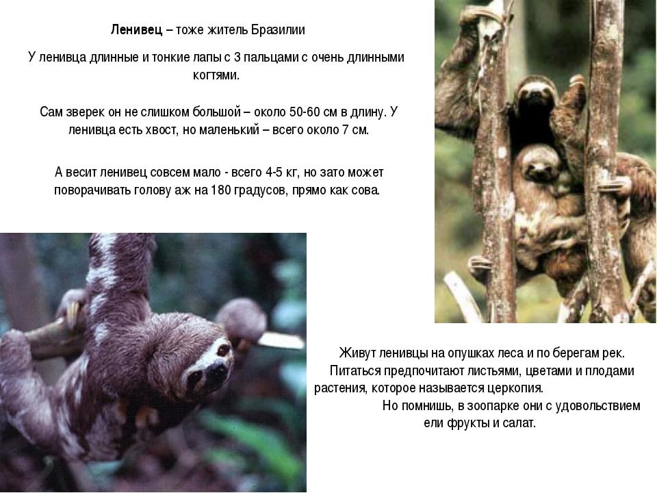 Ленивец – тоже житель Бразилии У ленивца длинные и тонкие лапы с 3 пальцами с...