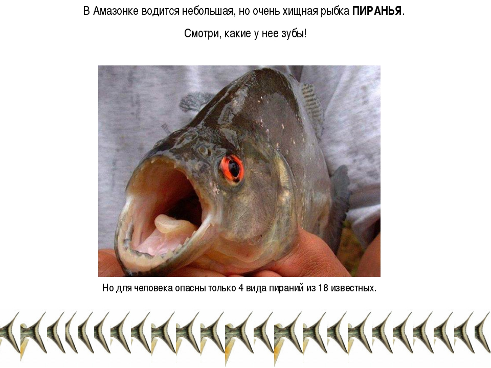 В Амазонке водится небольшая, но очень хищная рыбка ПИРАНЬЯ. Смотри, какие у...