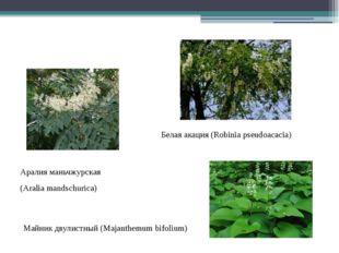 Белая акация (Robinia pseudoacacia) Аралия маньчжурская (Aralia mandschurica