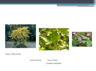 Гинкго (Gínkgo bilóba) Платан (Platanus) Герань Роберта (Geraniumrobertianum)