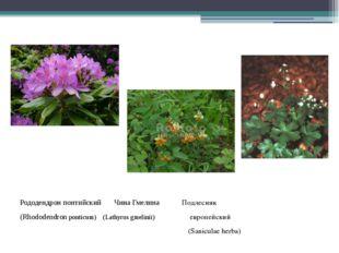 Рододендрон понтийский Чина Гмелина Подлесник (Rhododendronponticum) (Lathy
