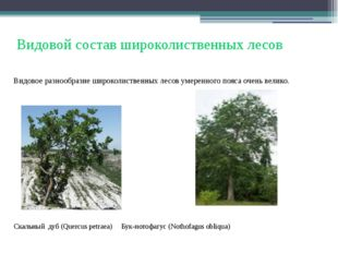 Видовой состав широколиственных лесов Видовое разнообразие широколиственных л