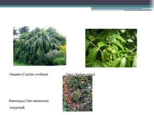 Лещина (Corylus avellana) Орех (Juglans regia) Виноград (Vitis amurensis) Ам