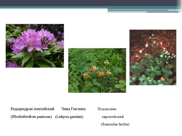 Рододендрон понтийский Чина Гмелина Подлесник (Rhododendronponticum) (Lathy...
