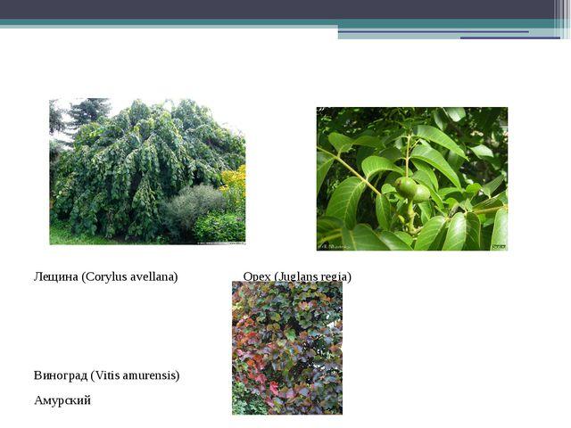 Лещина (Corylus avellana) Орех (Juglans regia) Виноград (Vitis amurensis) Ам...