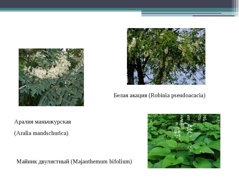 Белая акация (Robinia pseudoacacia) Аралия маньчжурская (Aralia mandschurica...