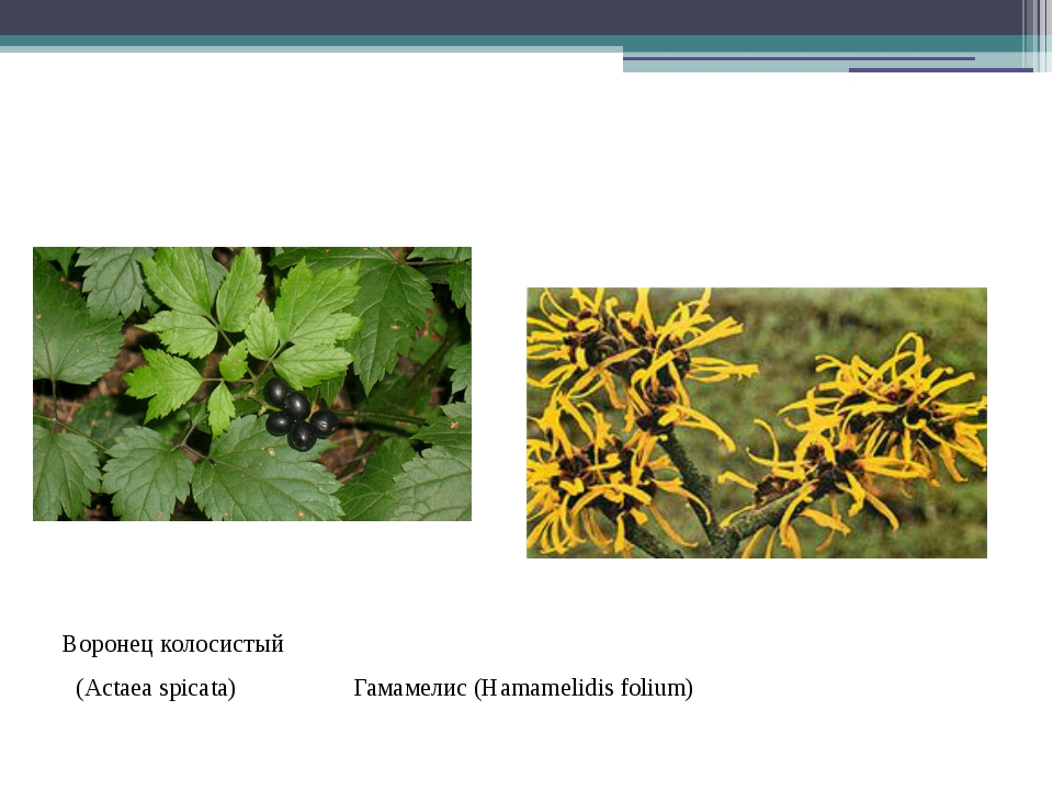 Воронец колосистый (Actaea spicata) Гамамелис (Hamamelidis folium)
