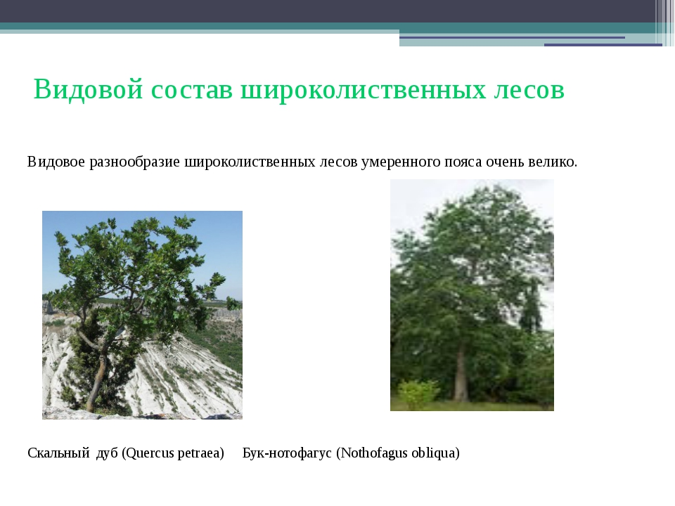Видовой состав широколиственных лесов Видовое разнообразие широколиственных л...