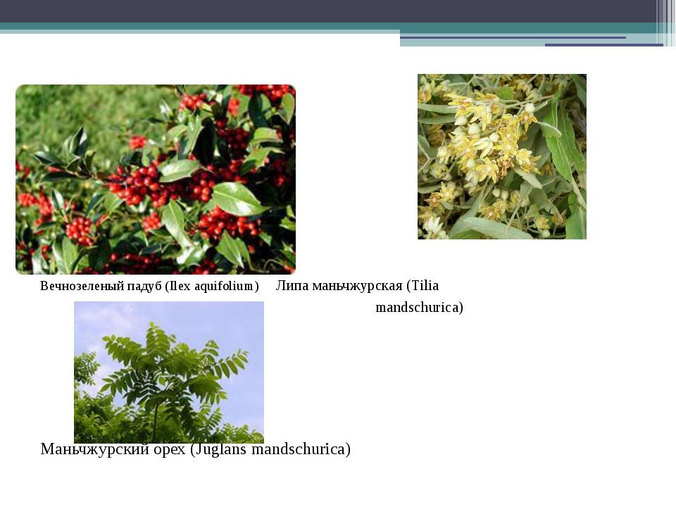 Вечнозеленый падуб (Ilex aquifolium) Липа маньчжурская (Tilia mandschurica)...