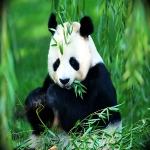 http://xtop10.ru/up/article/thumb_panda_facts.jpg