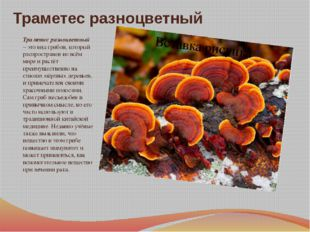 Траметес разноцветный Траметес разноцветный – это вид грибов, который распрос