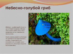 Небесно-голубой гриб Небесно - голубой гриб обитает в лесах Новой Зеландии и
