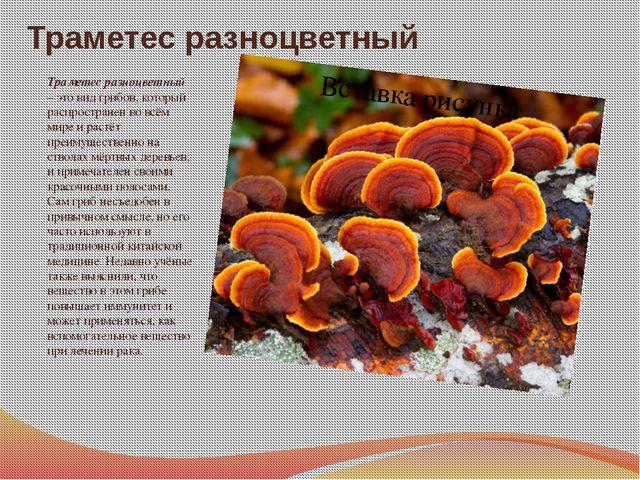 Траметес разноцветный Траметес разноцветный – это вид грибов, который распрос...