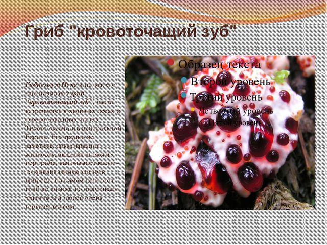 """Гриб """"кровоточащий зуб"""" Гиднеллум Пека или, как его еще называют гриб """"кровот..."""
