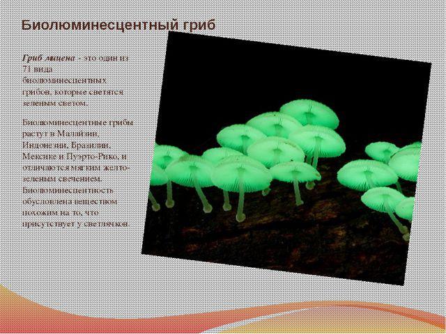 Биолюминесцентный гриб Гриб мицена - это один из 71 вида биолюминесцентных гр...
