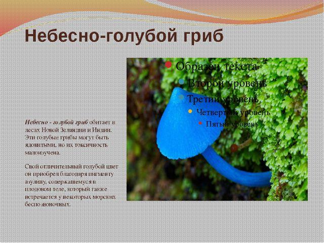 Небесно-голубой гриб Небесно - голубой гриб обитает в лесах Новой Зеландии и...