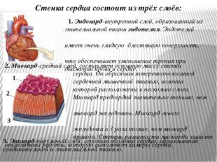 2. Миокард-средний слой, составляет основную массу стенки сердца. Он образова