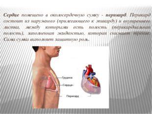Сердце помещено в околосердечную сумку - перикард. Перикард состоит из наружн