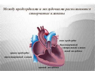 правое предсердие правый желудочек левое предсердие левый желудочек Между пре
