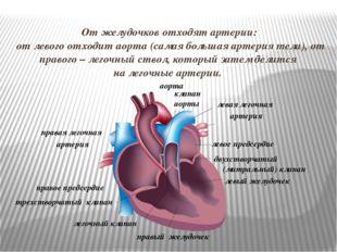 От желудочков отходят артерии: от левого отходит аорта (самая большая артерия