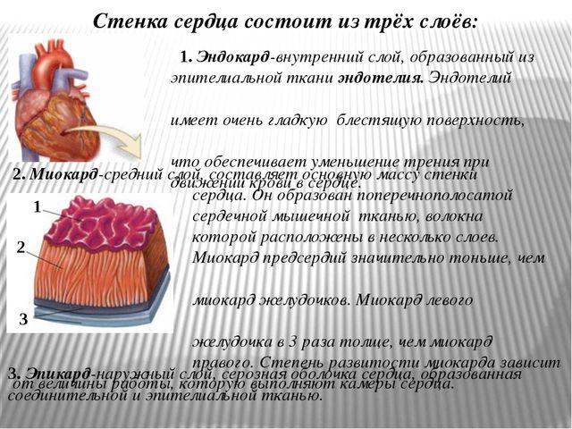 2. Миокард-средний слой, составляет основную массу стенки сердца. Он образова...
