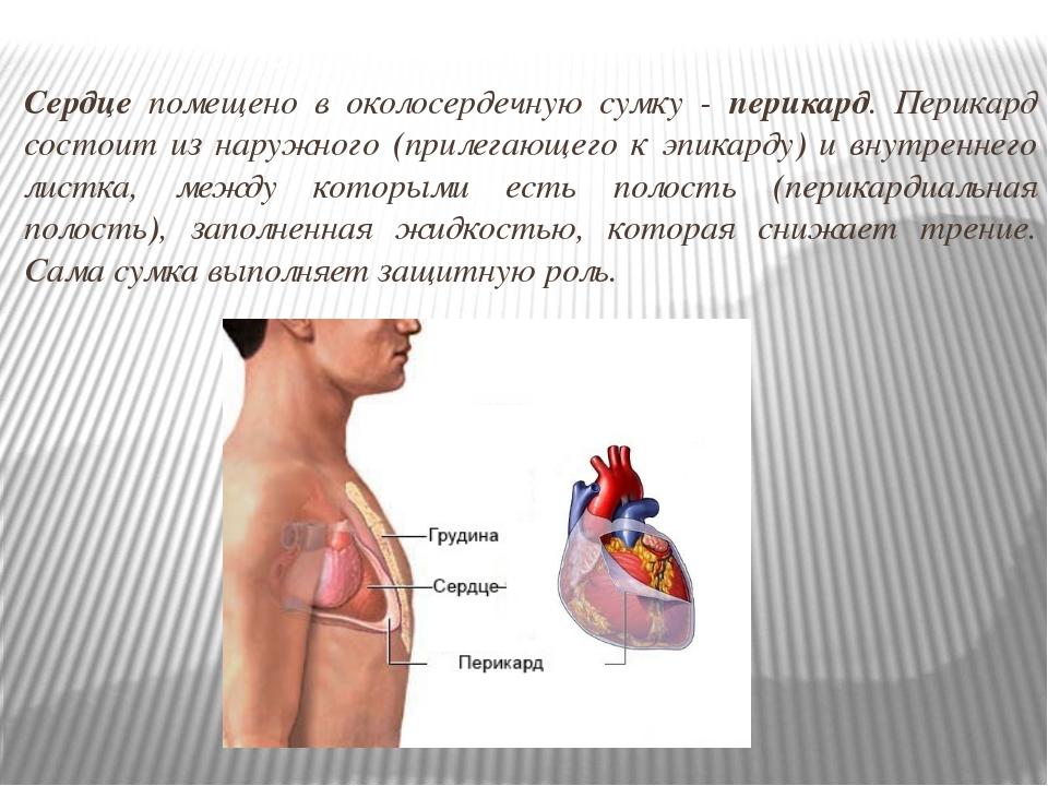 Сердце помещено в околосердечную сумку - перикард. Перикард состоит из наружн...