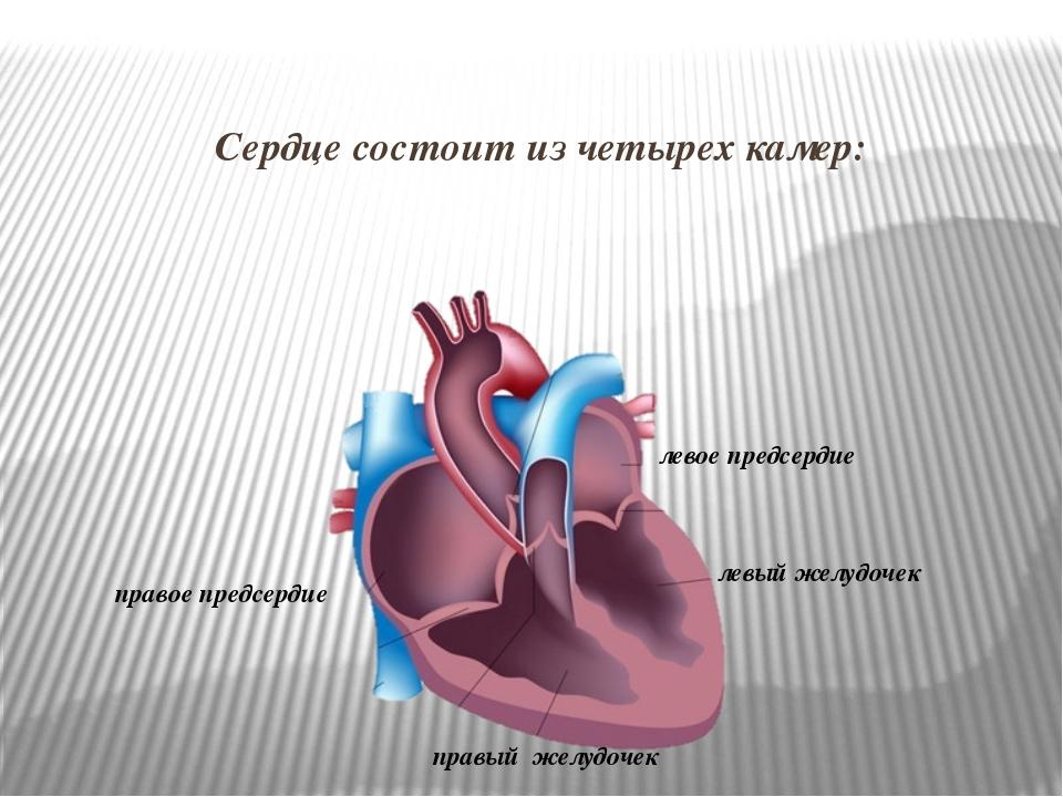 Сердце состоит изчетырех камер: правое предсердие правый желудочек левое пре...