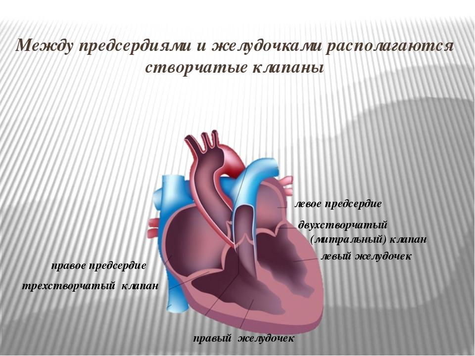 правое предсердие правый желудочек левое предсердие левый желудочек Между пре...
