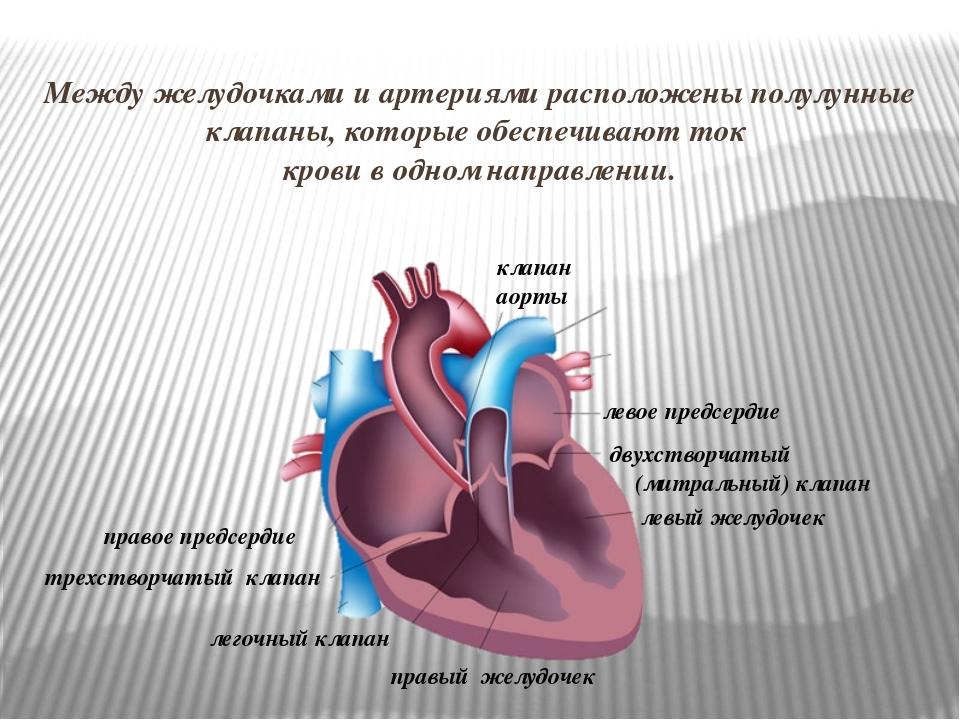 Между желудочками и артериями расположены полулунные клапаны, которые обеспеч...