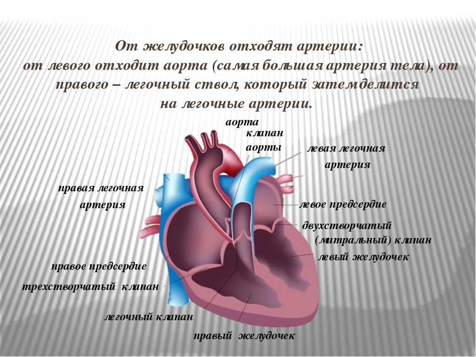 От желудочков отходят артерии: от левого отходит аорта (самая большая артерия...